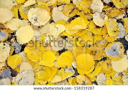 Yellow aspen leaves fallen on the ground - stock photo