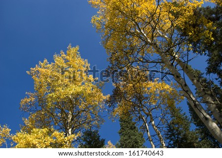 Yellow aspen tops against a deep blue autumn sky - stock photo