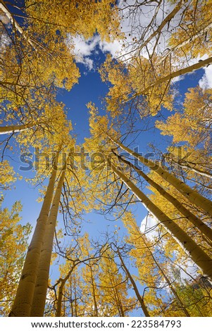 yellow aspen tree from colorado - stock photo