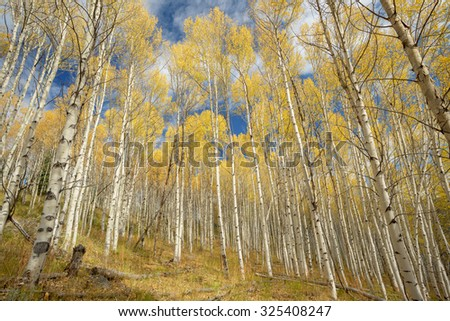 Yellow Aspen trees in fall with deep blue sky - stock photo