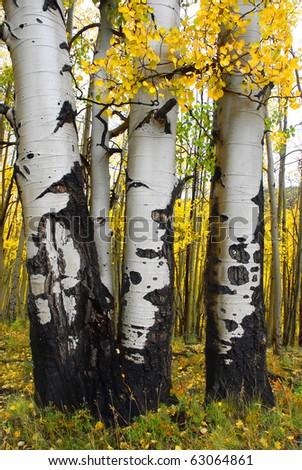 Yellow Aspen trees of the San Juan mountains in Colorado Fall 2010. - stock photo