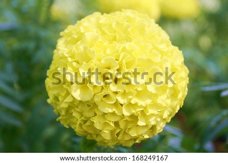 Yellow aster flowers in the garden as background  - stock photo