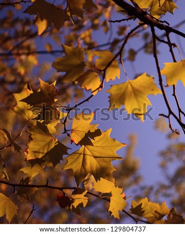 Yellow autumn leaves and blue sky in October month - stock photo