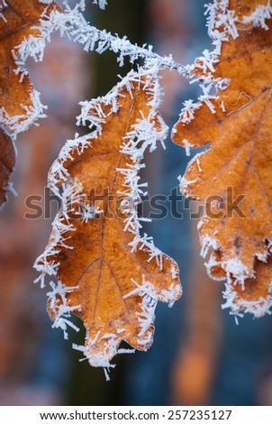 Yellow autumn leaves covered with hoarfrost.  - stock photo