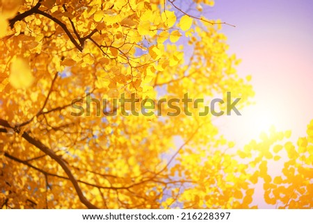 Yellow autumn leaves on tree over sunny sky background. - stock photo