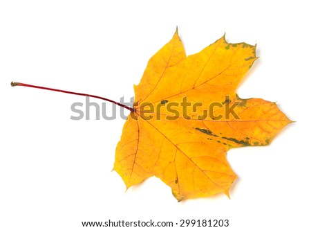 Yellow autumn maple-leaf isolated on white background - stock photo