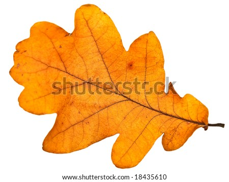 yellow autumn oak leaf over the white background - stock photo