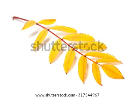 Yellow autumn rowan leaves isolated on white background. Selective focus. - stock photo