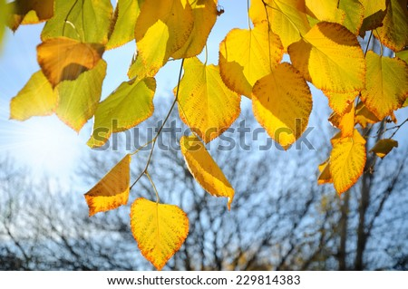Yellow autumnal linden foliage with bright sunshine - stock photo