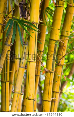 Yellow bamboo. - stock photo