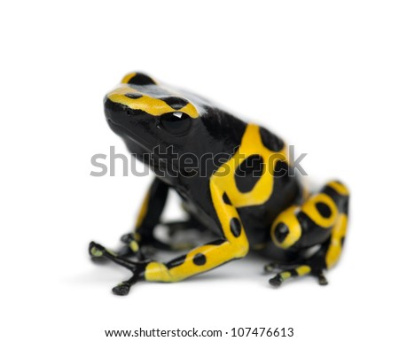 Yellow-Banded Poison Dart Frog, also known as a Yellow-Headed Poison Dart Frog and Bumblebee Poison Frog, Dendrobates leucomelas, against white background - stock photo