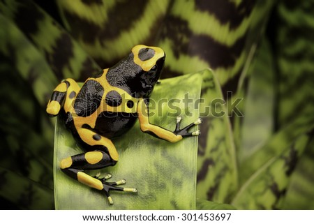 Yellow banded poison dart frog amazon rain forest of Guyana and Venezuela. Macro of a tropical poisonous animal kept as a pet in a terrarium. - stock photo