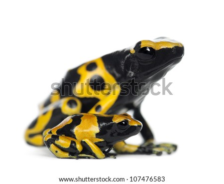 Yellow-Banded Poison Dart Frogs, also known as a Yellow-Headed Poison Dart Frog and Bumblebee Poison Frog, Dendrobates leucomelas, mother with young, against white background - stock photo
