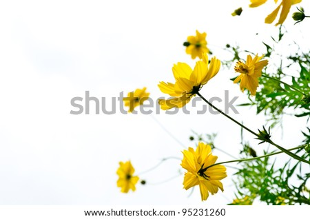 yellow beautiful cosmos flower with white background - stock photo