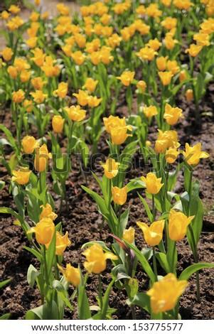 yellow beautiful tulips field - stock photo