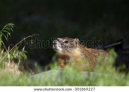 Yellow-bellied Marmot in Wyoming - stock photo