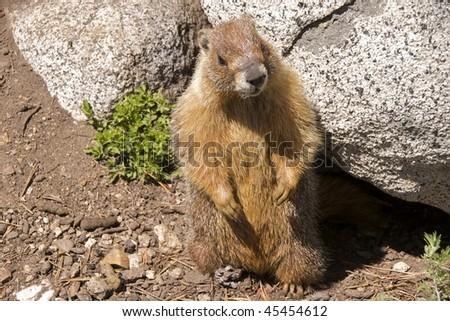 Yellow-bellied marmot (marmota flaviventris) in Tuolumne Meadows, Yosemite National Park - stock photo