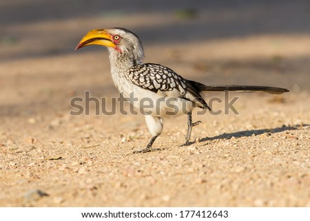 Yellow billed hornbill walking on ground looking and begging for food close-up - stock photo