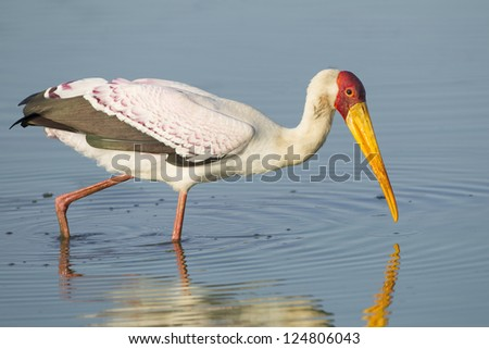 Yellow billed stork, (Mycteria ibis), South Africa, fishing in water in the Kruger Park - stock photo