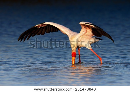 Yellow-billed stork (Mycteria ibis) wading and seeking food - Kruger National Park (South Africa) - stock photo