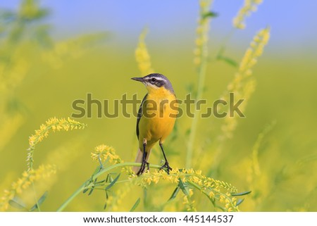 yellow bird Wagtail sitting on  sweet clover - stock photo