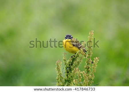 Yellow bird with black head. Western yellow wagtail (Motacilla flava) in its natural habitat - stock photo