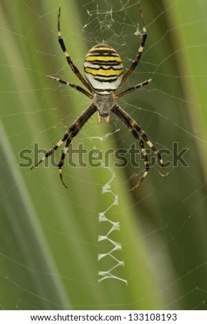 Yellow-black spider in  spiderweb - stock photo