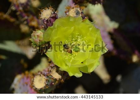 Yellow bloomed cactus flower in outdoor garden - stock photo