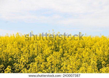 Yellow blooming flowers rapeseed field landscape - stock photo