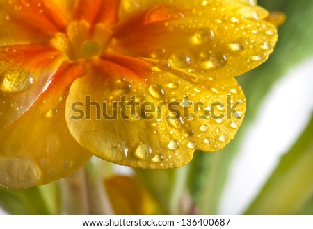 Yellow blossom of primula flower with water drops close up,  on white background - stock photo