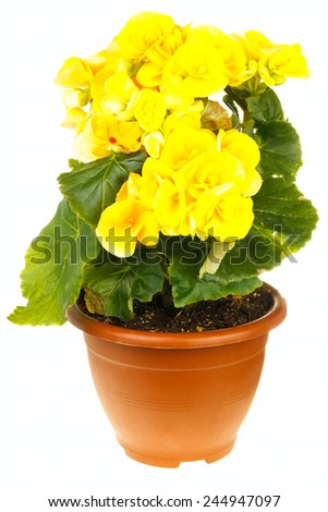 Yellow blossoming begonia isolated on white background - stock photo