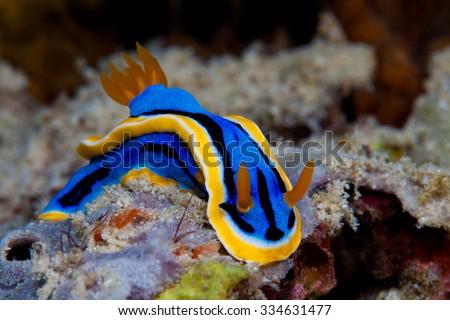 Yellow, blue, white, purple and black nudibranch. Underwater photo. Philippines - stock photo