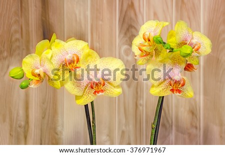 Yellow branch orchid flowers with buds, Orchidaceae, Phalaenopsis known as the Moth Orchid, abbreviated Phal. Wood background. - stock photo