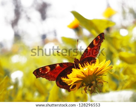 yellow bright dandelion and butterfly in natural environment - stock photo