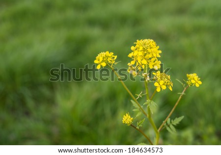 Yellow budding and flowering Wild Mustard or Sinapis arvensis against it blurred natural habitat. - stock photo