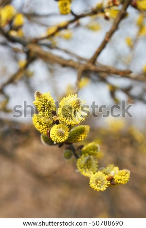 yellow buds of pussy-willow - stock photo