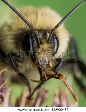 Yellow Bumble bee sticks out red mouth parts.  On Flower with green background. - stock photo