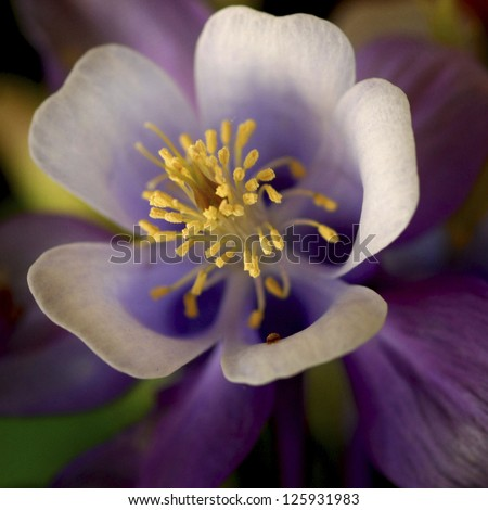 Yellow bursting out from a purple Columbine flower - stock photo