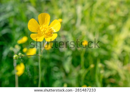 Yellow buttercup flower in natural green surroundings - stock photo