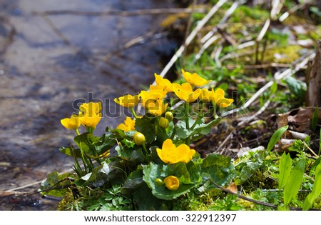 Yellow buttercup flowers Ranunculus. in the meadow. the stream - stock photo