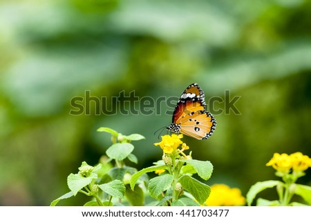 Yellow butterfly perched on a flower Baan Phakakrong beautifully . - stock photo