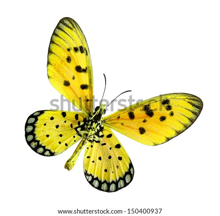 Yellow Butterfly, Tawny coster or Acraea violae, isolated on white background - stock photo