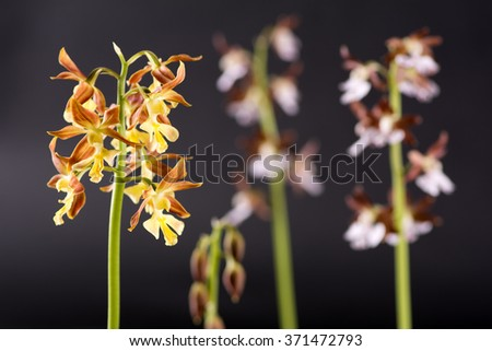 Yellow calanthe discolor flowers in front of pale purple flowers - stock photo