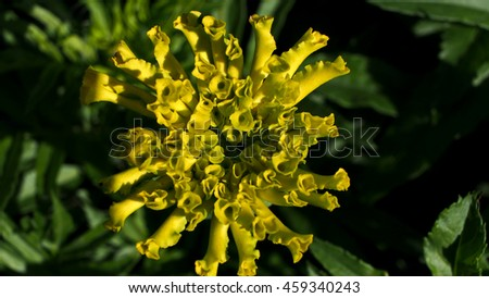 Yellow Calendura Bud - stock photo