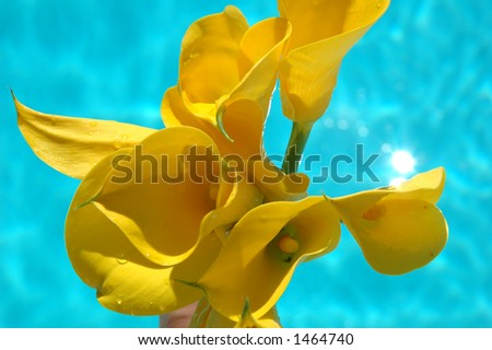 Yellow calla lilies above a pool of water - stock photo
