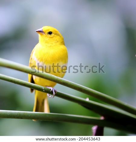 Yellow Canary Bird in the Garden - stock photo