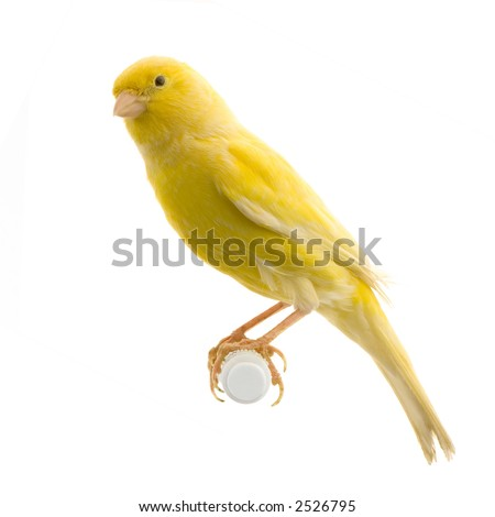 yellow canary on its perch in front of a white background - stock photo