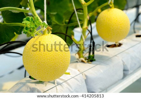 Yellow Cantaloupe melon growing in a greenhouse. - stock photo