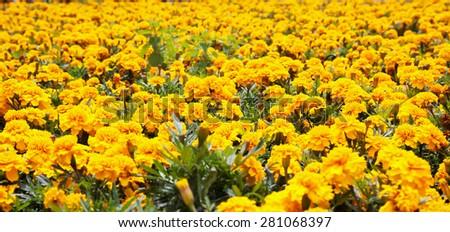 Yellow carnations in full field, horizontal image - stock photo