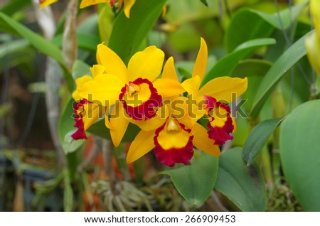 yellow cattleya orchid close up - stock photo